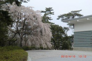 "weeping cherry or ""shidare zakura"" 枝垂れ桜"