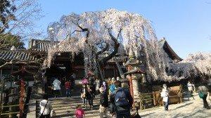Weeping cherry in Himuro Jinja, Nara city.